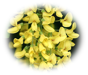 "alt=""Laburnum -Goldregen"""