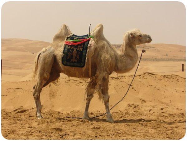 """alt=""""Kamel 1"""""""